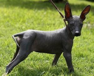 Перуанская орхидея собака